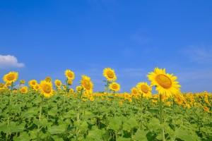 ひまわりも環境によって花の大きさも背丈も変わる。